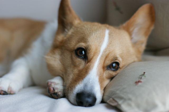 老犬のイメージ