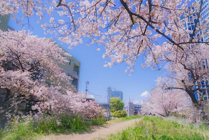 玉川地域 桜